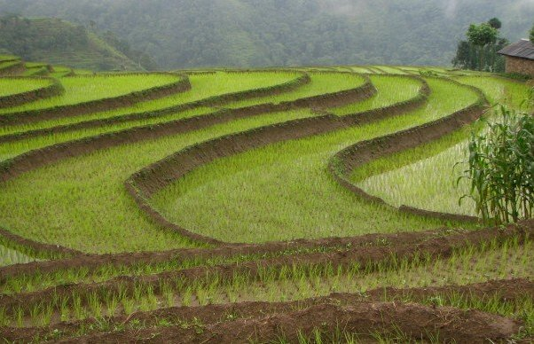 Rice Fields in Jamuna, Nepal. My mom is from Jamuna; its one of my ancestral homes.